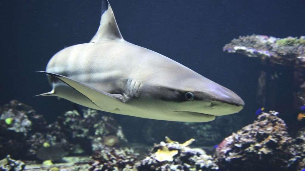 Descubren fósil de tiburón blanco de 10 mil años de antigüedad