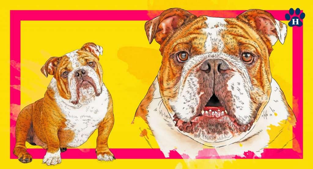 Bulldog Inglés. Sólo los perros funcionalmente y clínicamente saludables, con la conformación típica de la raza, deberán usarse para la crianza. Infografía: Miguel Ulloa