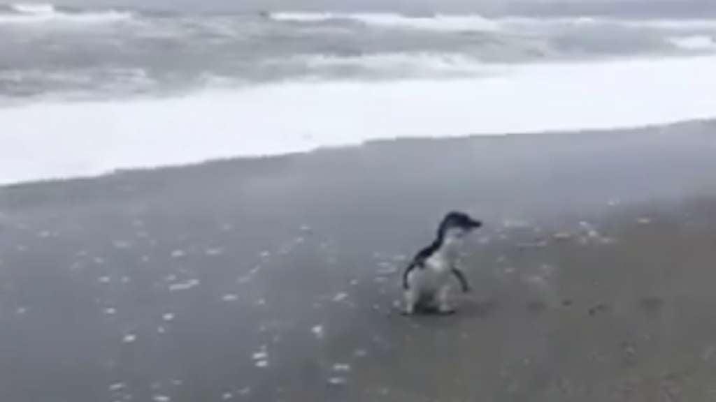 Pinguino liberado se despide de su cuidadora