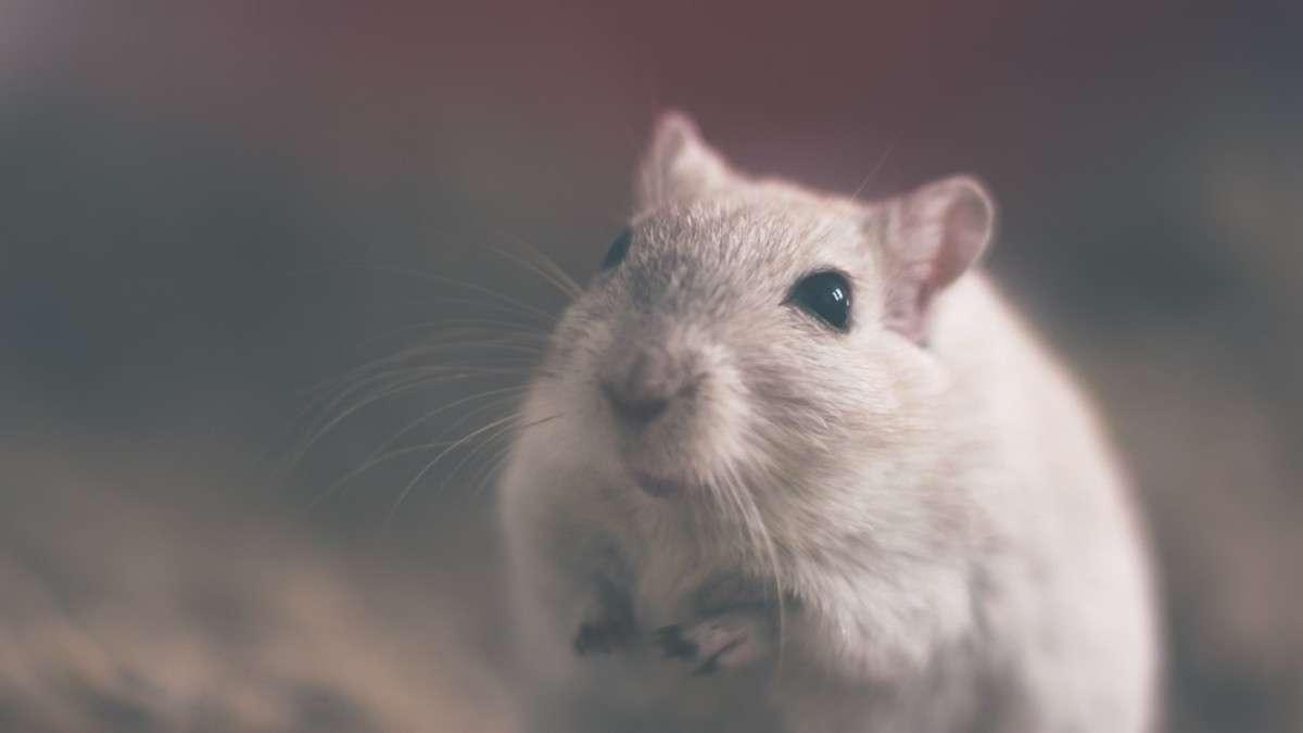 rata alcantarillas alemania sobrepeso animales
