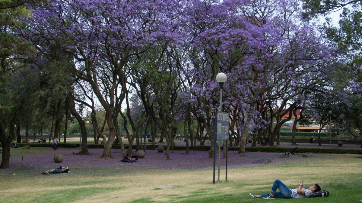 Jacarandas_CDMX_Morado_lila_Japón