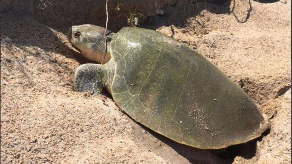 tamaulipas tortugas nidos animales