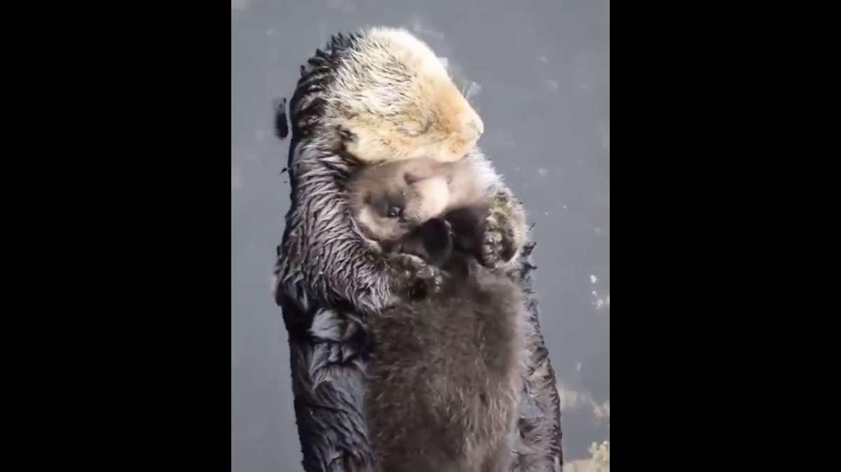 VIDEO VIRAL: ¡Amor de madre no tiene límites! Nutria besa y abraza a su bebé