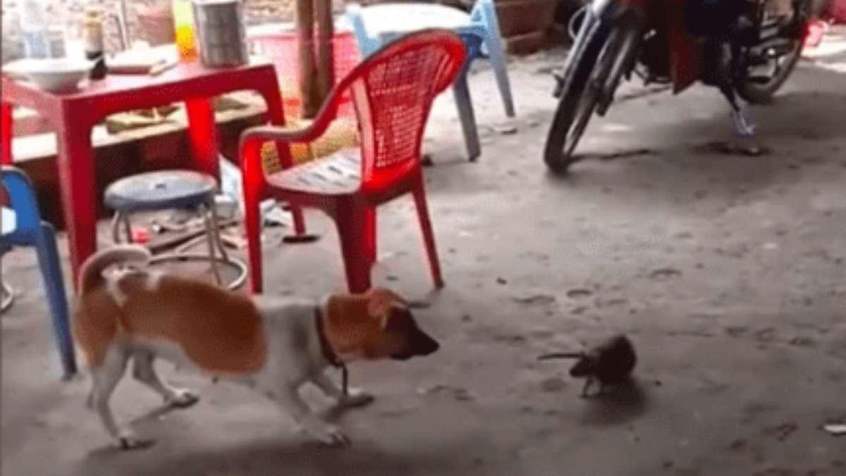 Enfrentamiento entre un perro y enorme rata