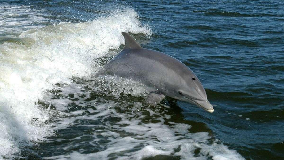 Delfines son captados en playas de sonora