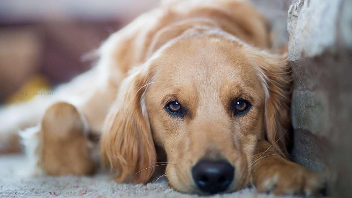 labrador triste cachorro