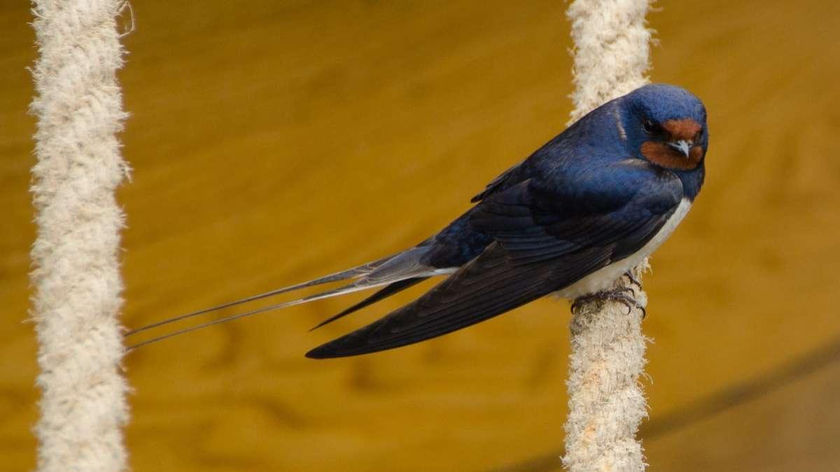 destruye nidos de golondrinas