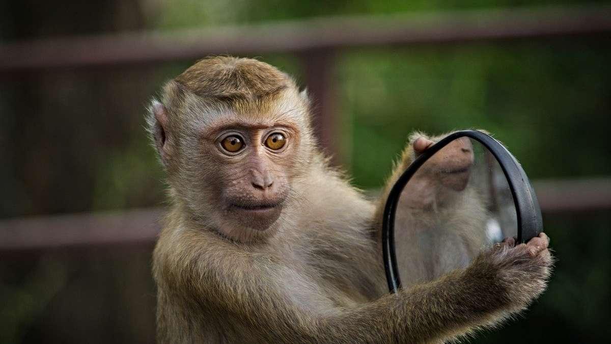 monos-ladrones-coronavirus-covid19-roban-pruebas-sangre-
