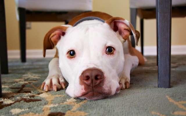 El pitbull logró ganarse el cariño de sus nuevos dueños. Foto: PxHere