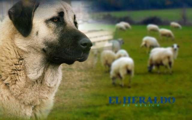 Perro salva ovejas de una serpiente