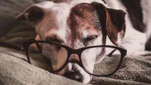 por que los perros duermen mucho estas son algunas razones razas perritos cuidados mascotas