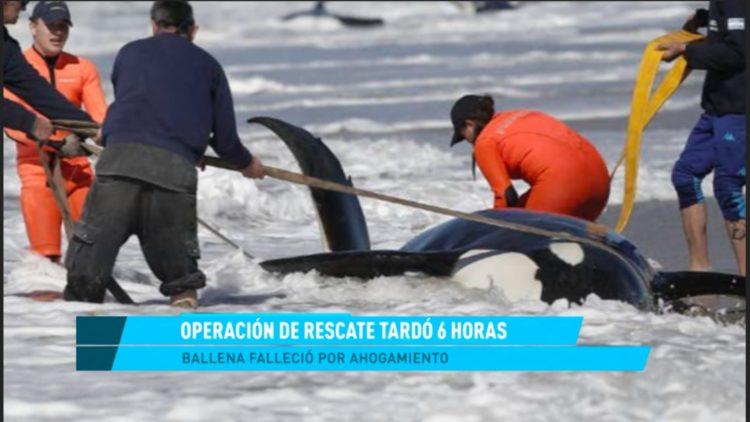 Ballenas varadas Argentina