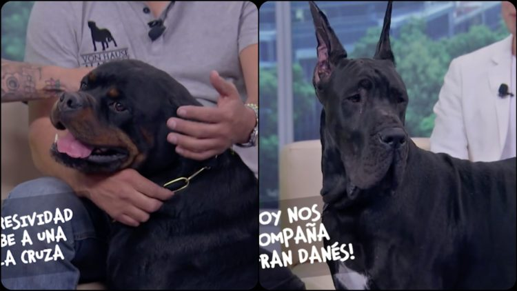 Perros rottweiler gran danes (1)
