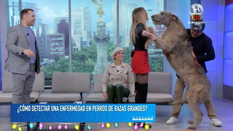 perros razas grandes El Heraldo TV cuidados