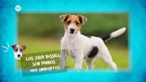 Experta en Jack Russell Terrier habla de sus cuidados