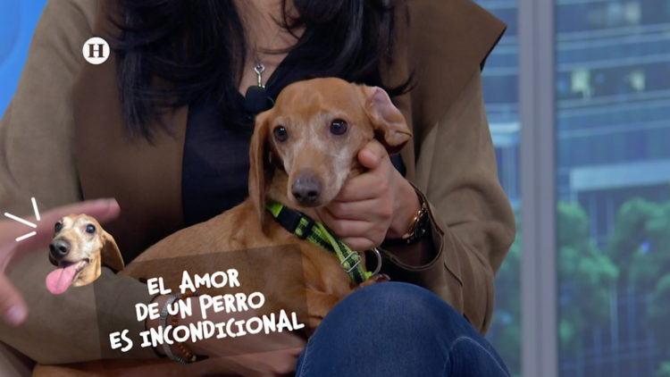 dachshund perros mascotas golpe de calor